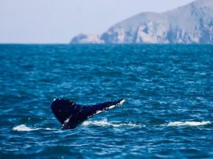 Read more about the article Temperatura do mar pode ter atraído baleias jubarte ao litoral catarinense