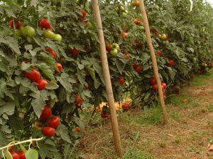 Read more about the article Tomate, morango e água para o campo em destaque no Panorama Agrícola