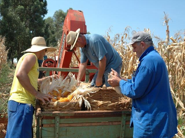 Read more about the article SC pode aumentar produção anual de milho em 2,5 milhões de toneladas sem ampliar área plantada
